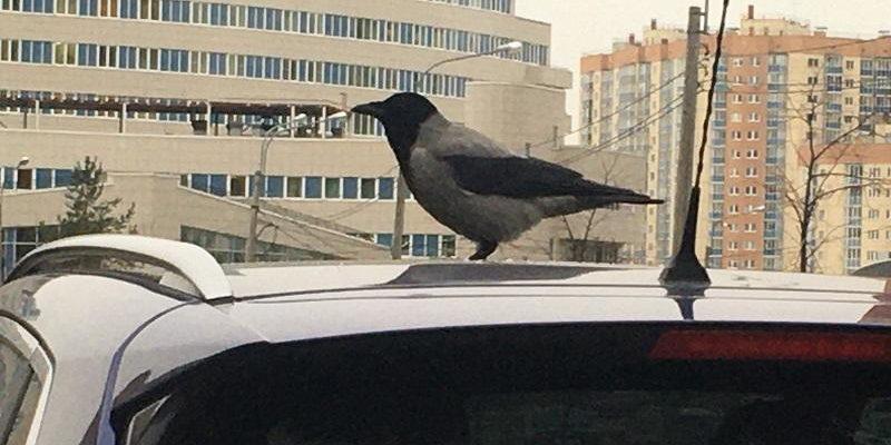 Что делать, если птицы гадят на машину: как защитить и очистить автомобиль