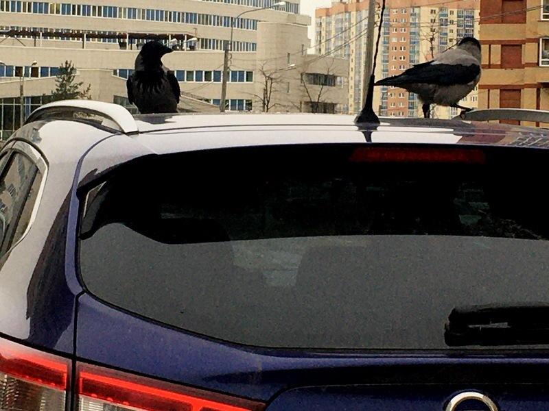 вороны на крыше авто